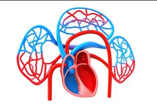 Veins_Arteries